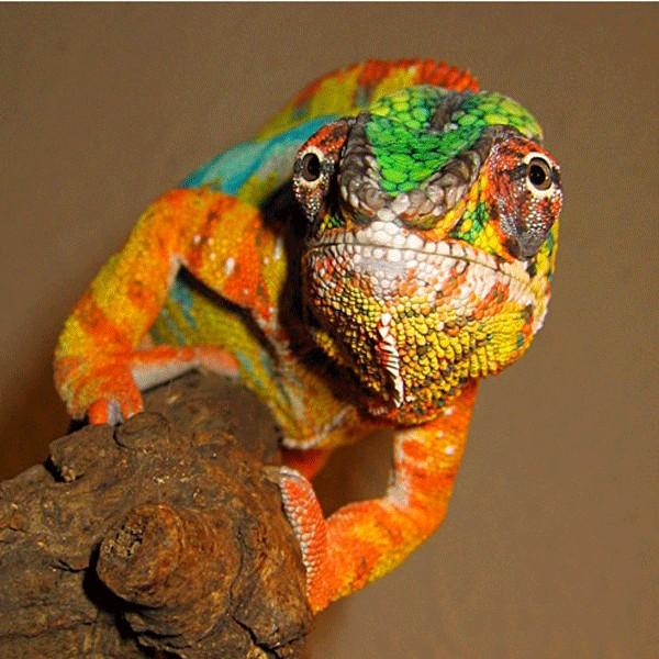 Camaleonte (furcifer pardalis)