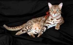 Il gatto più costoso del mondo