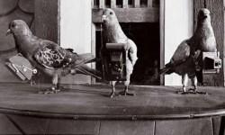 droni analogici: piccioni viaggiatori nella seconda guerra mondiale