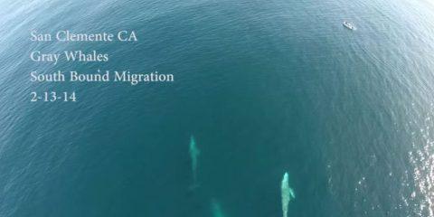 Videodroni. Delfini e balene al largo della California visti dal drone
