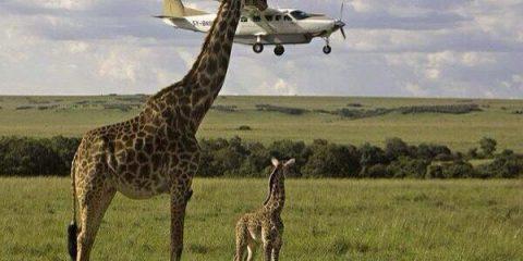 Effetti ottici: Una giraffa con il collo troppo lungo