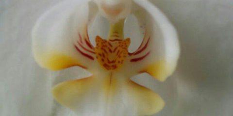 Le miniature della natura: quando una tigre entra in un'orchidea