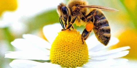 La Francia a tutela delle api, primo Paese Ue a bandire 5 pesticidi