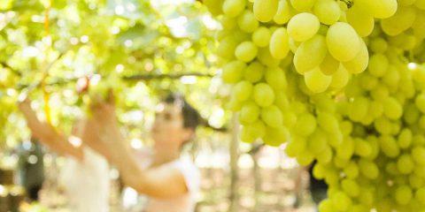 Il vino fatto con l'intelligenza artificiale, quest'anno in Trentino sarà vendemmia 4.0